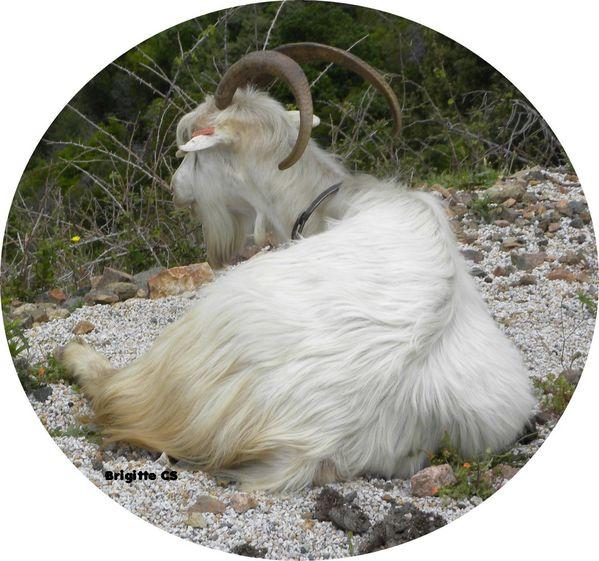 chèvres5