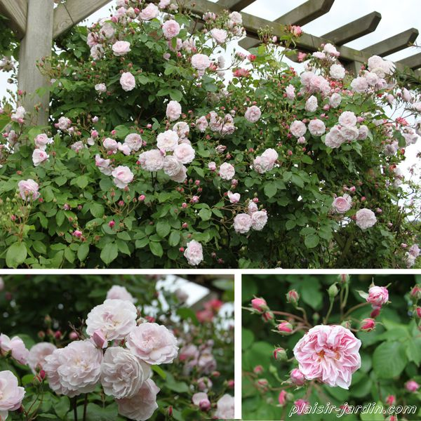 Le rosier 'Blush noisette'