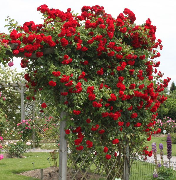 rosier amadeus 3
