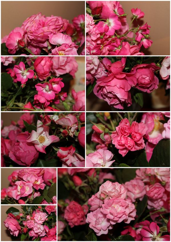 all pink roses c