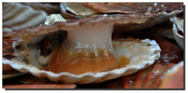 coquille-010