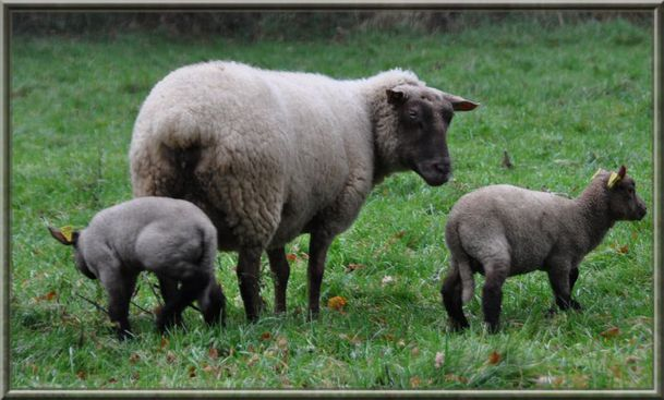 moutons-010