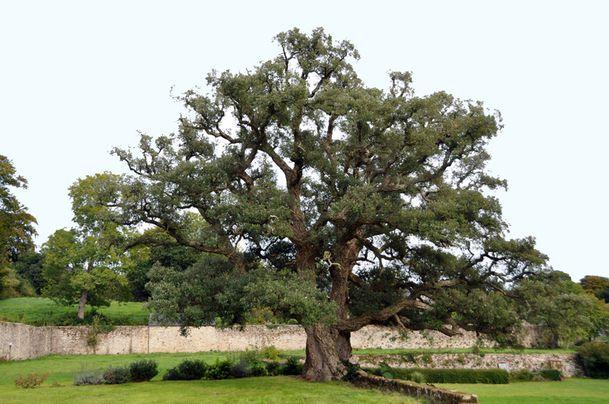 arbre-3100-Gonnevillechene