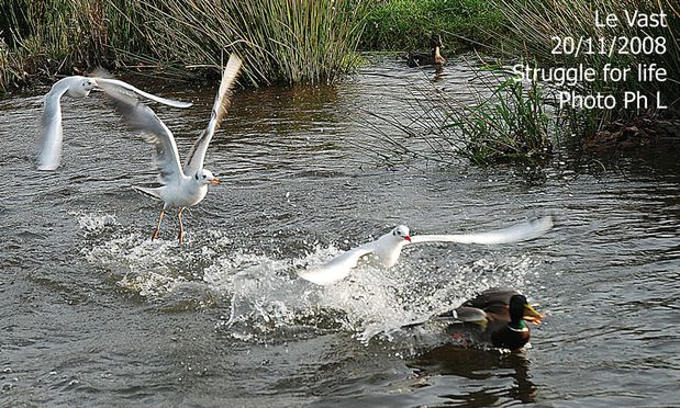 mouettes-canards-10.jpg