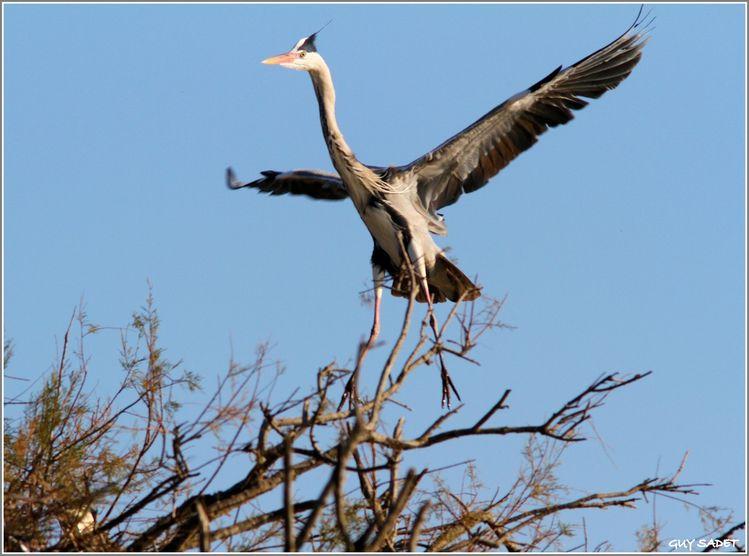 Heron-cendre 0866-1