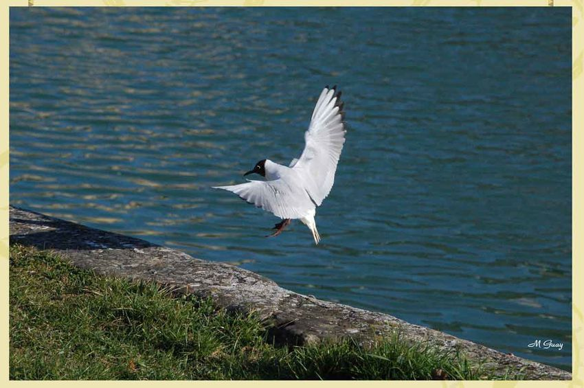 mouette-rieuse-1192.jpg