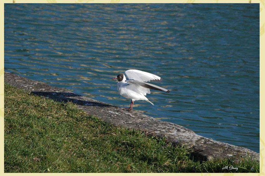 mouette-rieuse-1193.jpg