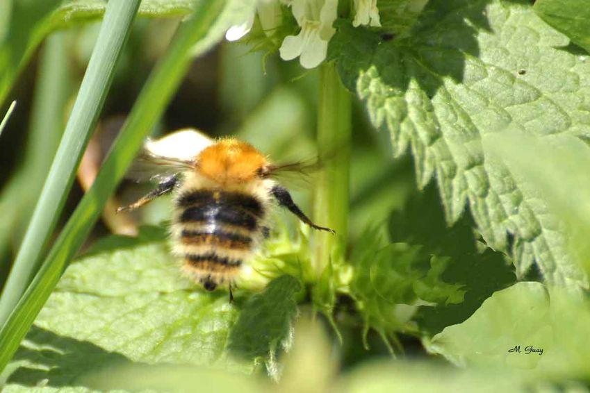 abeille-andrena-1910.jpg