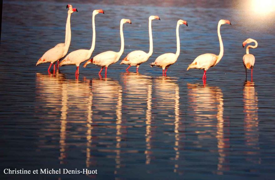 flamants-roses-1900.jpg