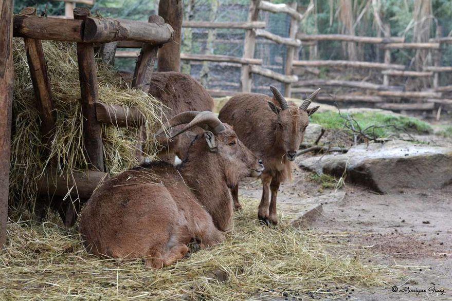 mouflon-a-manchettes-2183.jpg