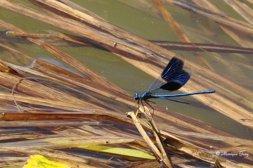 calopteryx-eclatant-3099.jpg