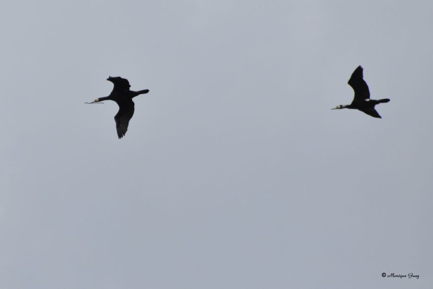 grand-cormoran-en-vol-6635.jpg
