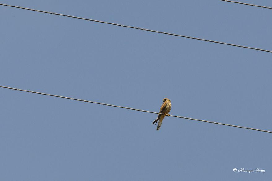 faucon-crecerelle-0272.jpg