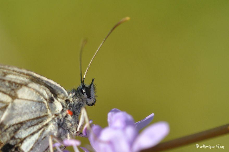 papillon-demi-deuil-1377.jpg