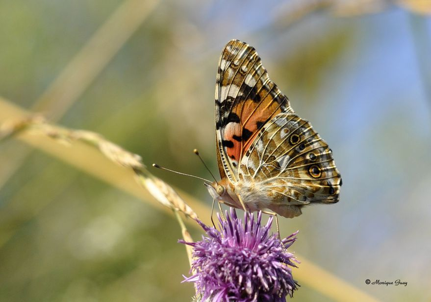papillon-demi-deuil-0904.jpg