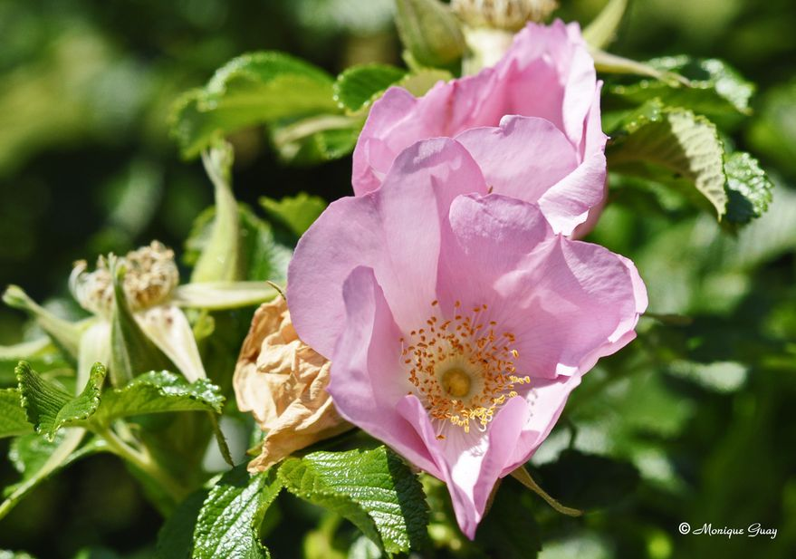 fleur-rose-1040.jpg