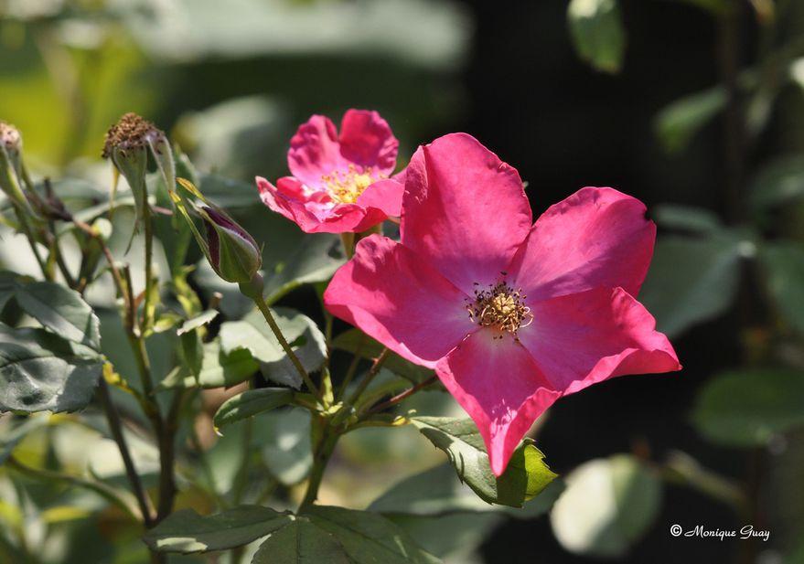 fleur-rose-1080.jpg