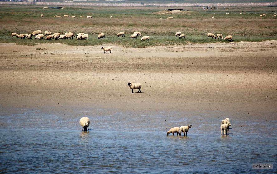 Baie-de-Somme 6982 al moutons à tête noire