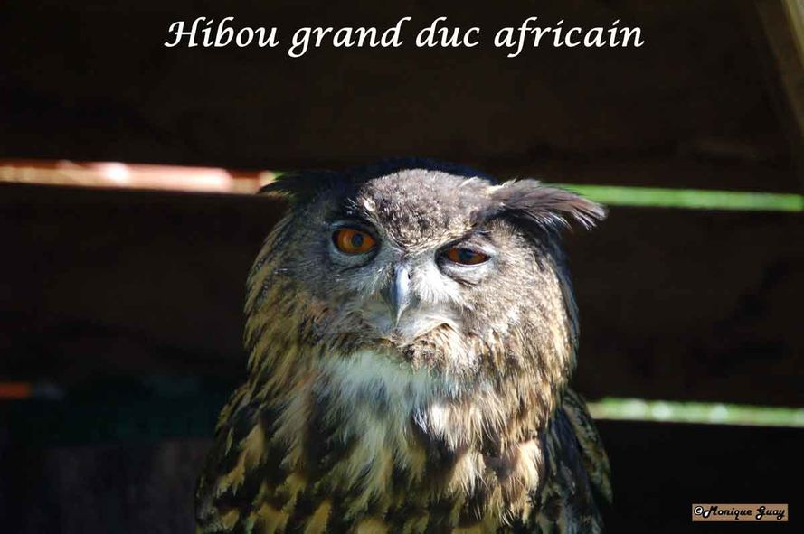 Aigles-Chateau-Thierry 9368-hibou-grand-duc-af
