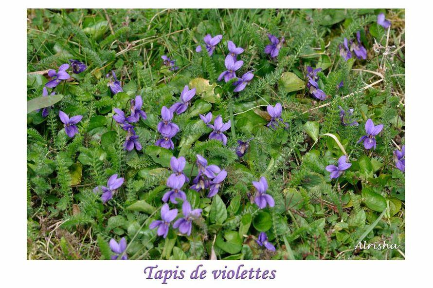 tapis de violettes-1