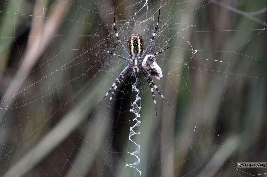 DSC6265-araignée-argiope-f