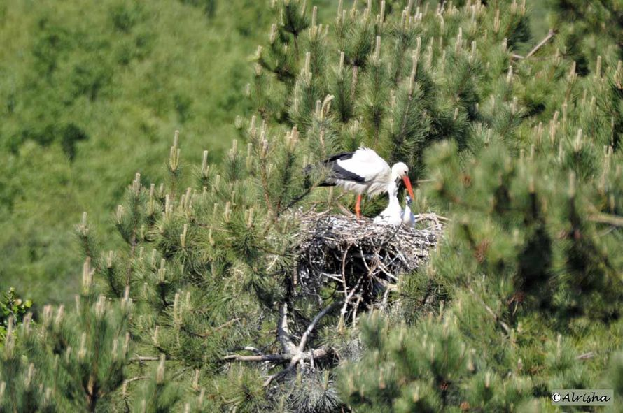 DSC8386 al cigogne au nid