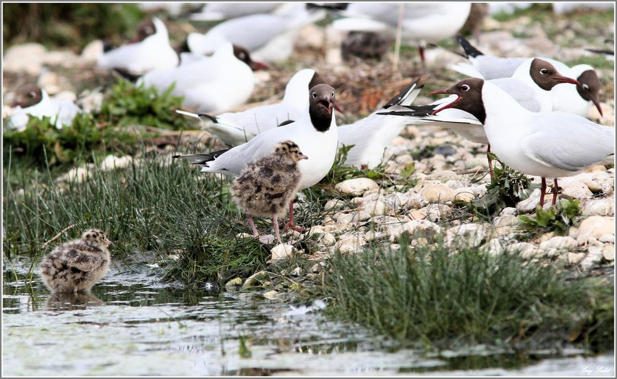 MOUETTES RIEUSES 13
