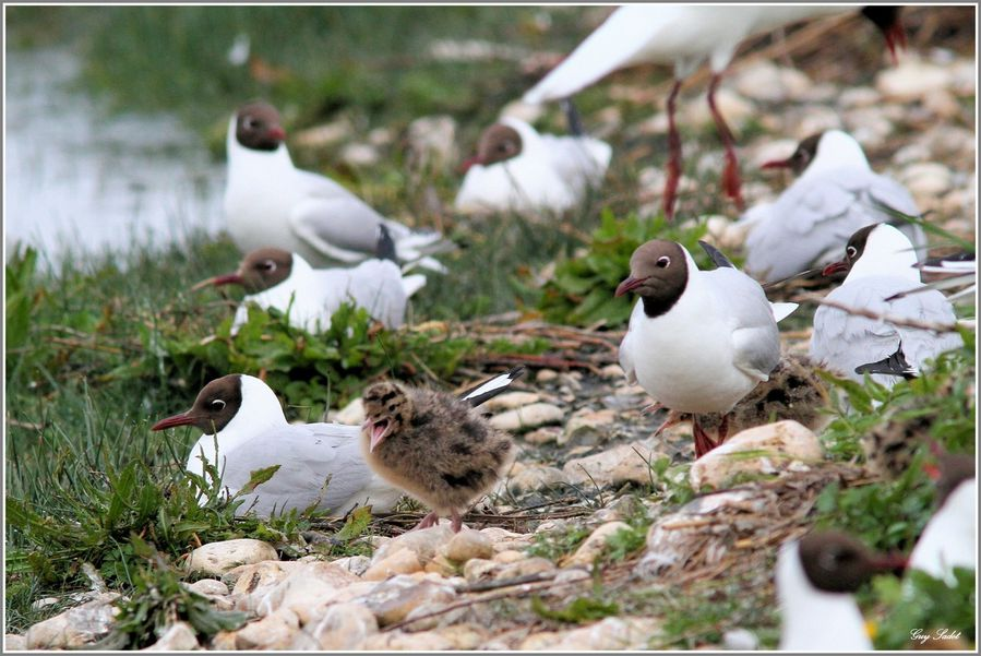MOUETTES RIEUSES 9