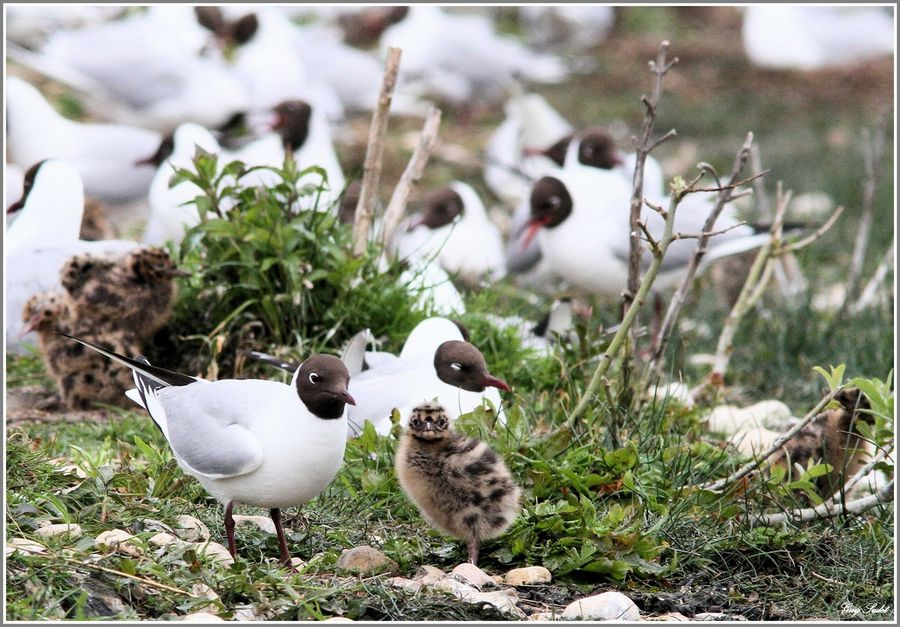 MOUETTES RIEUSES 16