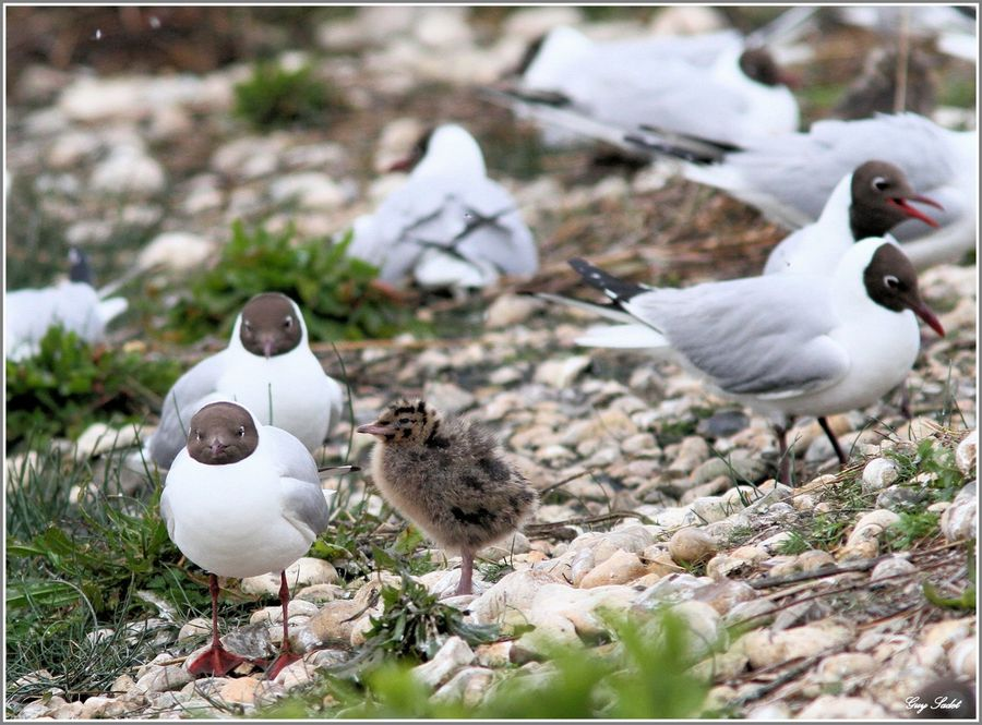 MOUETTES RIEUSES 4