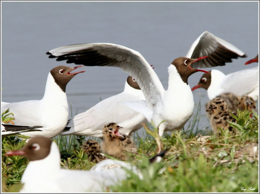 MOUETTES RIEUSES 11