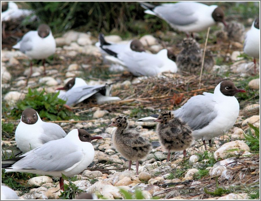 MOUETTES RIEUSES 12
