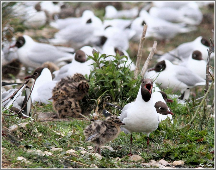 MOUETTES RIEUSES 6