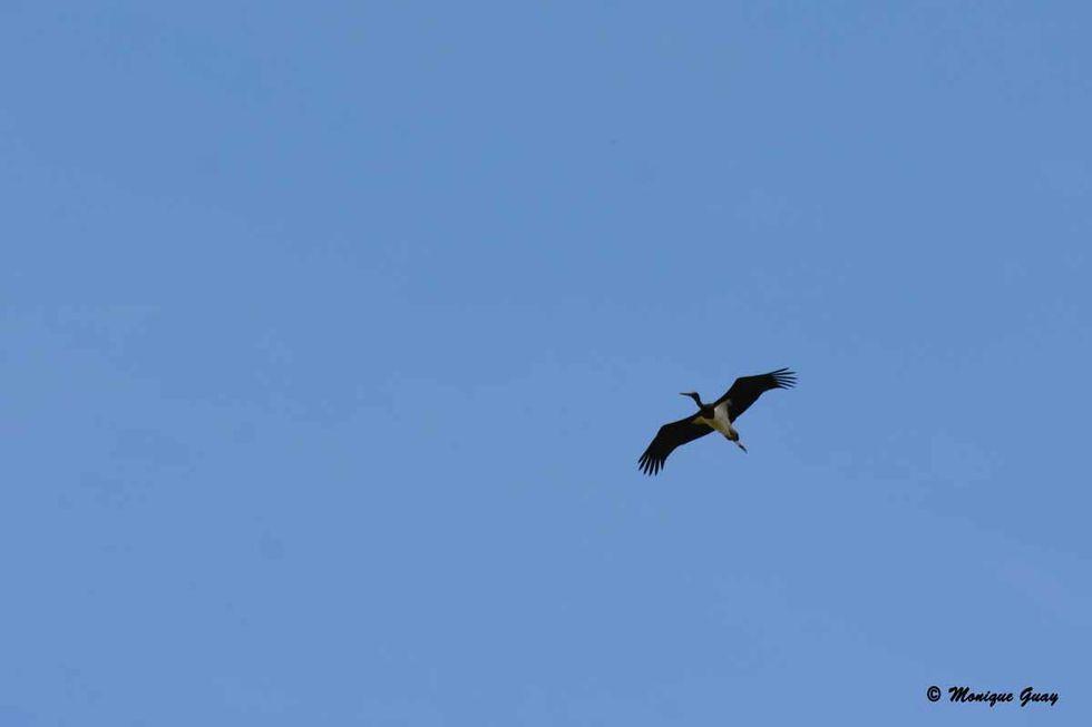 cigogne-noire-en-vol-1761.jpg