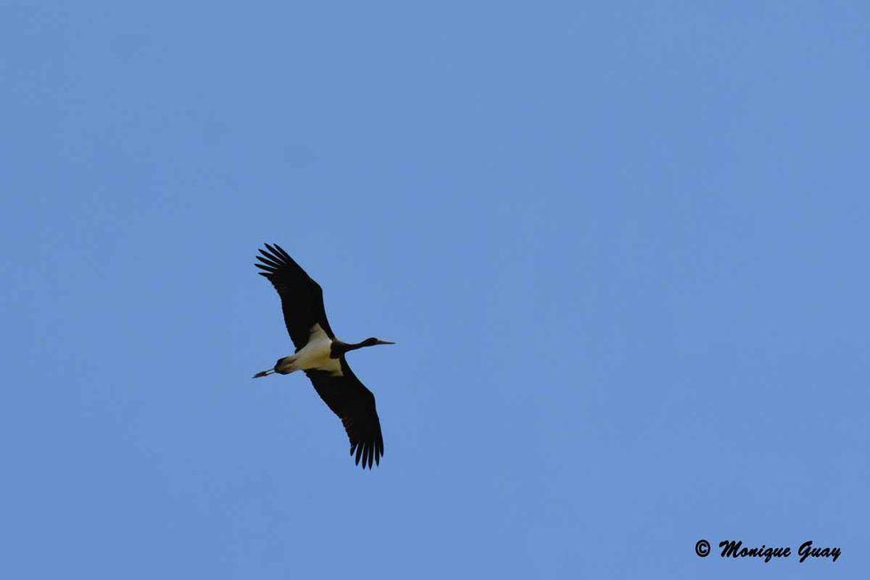 cigogne-noire-en-vol-1772.jpg
