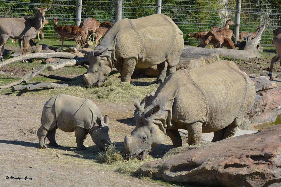 rhinoceros-indiens-6537.jpg
