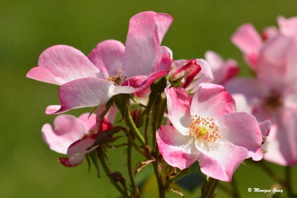 fleurs-rose-8458.jpg